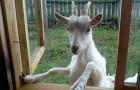 Заболевания коз, связанные с неправильным кормлением – Понос (диарея)