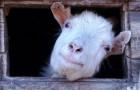 Заболевания коз, связанные с неправильным кормлением – Тимпания (острое вздутие рубца)