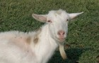 Заболевания коз, связанные с неправильным кормлением – Воспаление желудка и кишок, или гастроэнтерит