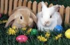 Заболевания кроликов – Пастереллез