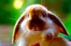 Заболевания кроликов – Пододерматит