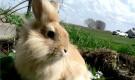 Заболевания кроликов – Цистицеркоз