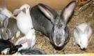 Заболевания кроликов – Зудневая чесотка (акароз, нотоедроз)