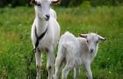 Заболевания вымени коз – Трещины на сосках