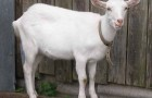 Заболевания вымени коз – Воспаление вымени
