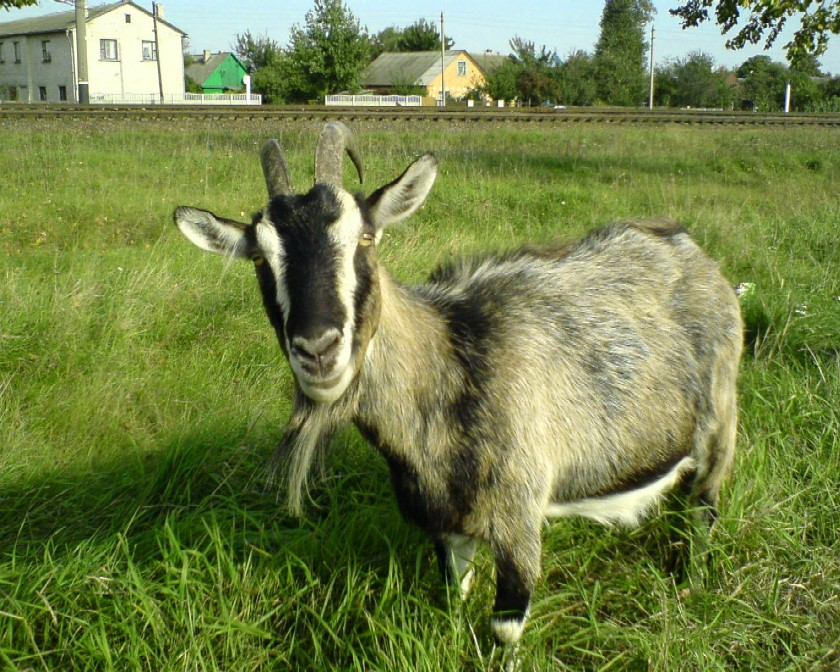 Заразные заболевания коз – Бруцеллез