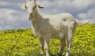 Заразные заболевания коз – Инфекционный мастит