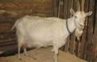 Заразные заболевания коз – Копытная гниль