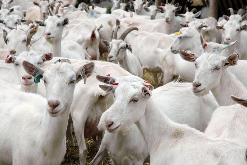 Заразные заболевания коз – Некробактериоз