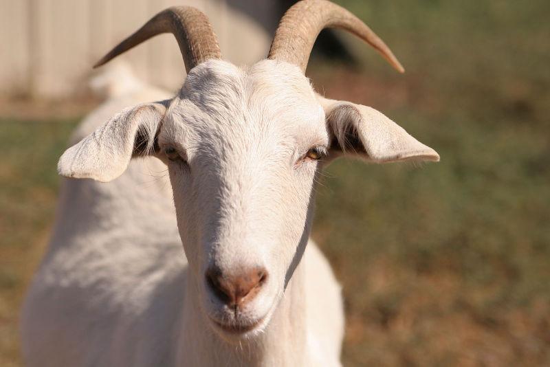 Заразные заболевания коз – Оспа