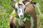 Заразные заболевания коз – Ящур