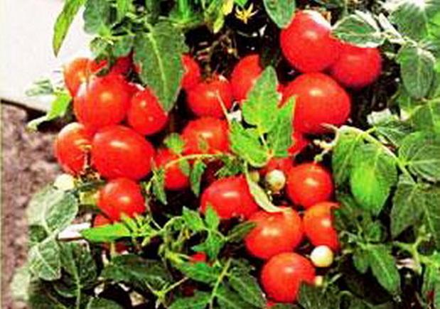 Сорт томата: Зенит   f1