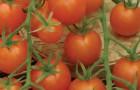 Сорт томата: Златовласка