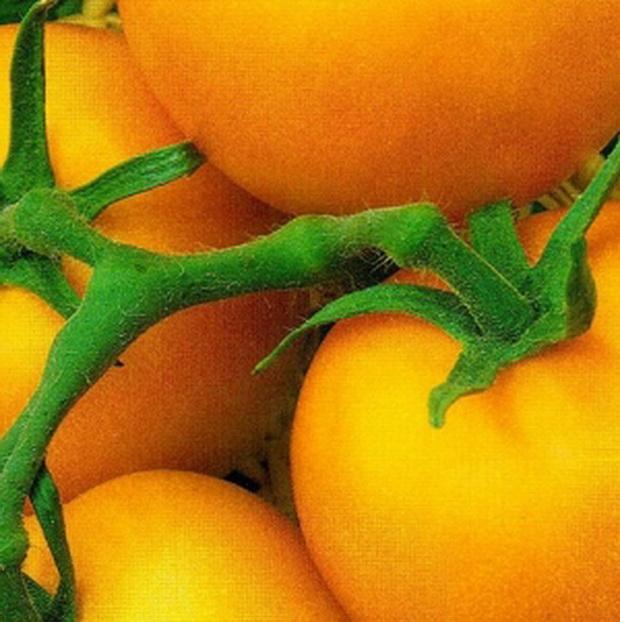 Сорт томата: Злоты дэшч