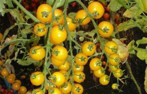 Сорт томата: Золотая бусинка   f1