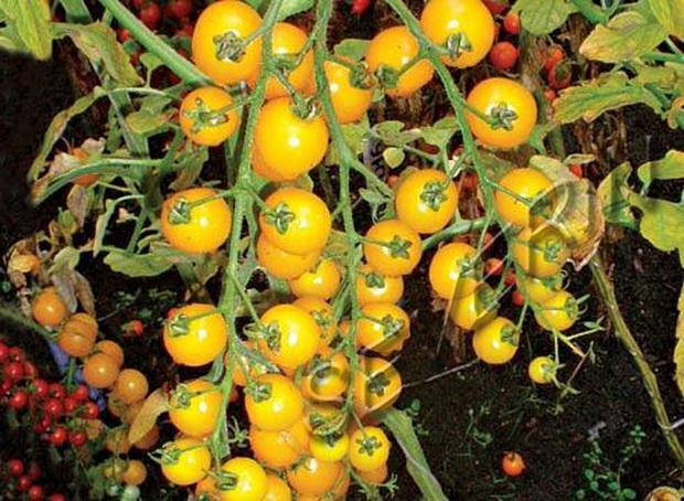 Сорт томата: Золотая гроздь