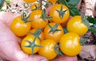 Сорт томата: Золотой дождь