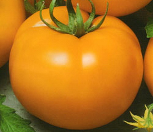 Сорт томата: Золотой ожаровский