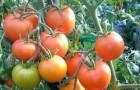 Сорт томата: Золотце