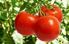 Сорт томата: Золушка