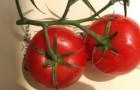 Сорт томата: Звездочка