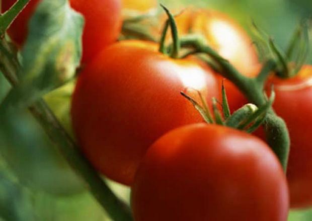 Сорт томата: Зырянка