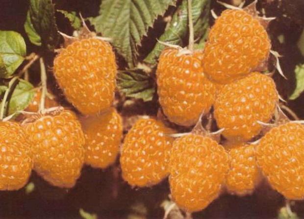 Сорт малины: Абрикосовая