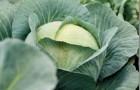 Сорт капусты белокочанной: Адаптор f1