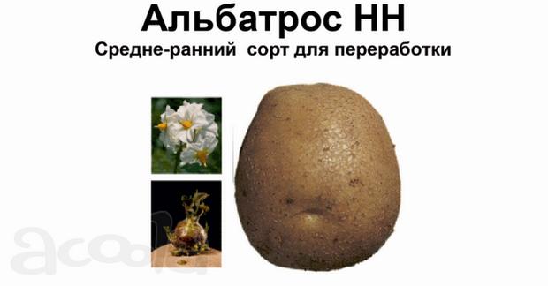 Сорт картофеля: Альбатрос