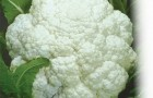 Сорт капусты цветной: Альфа
