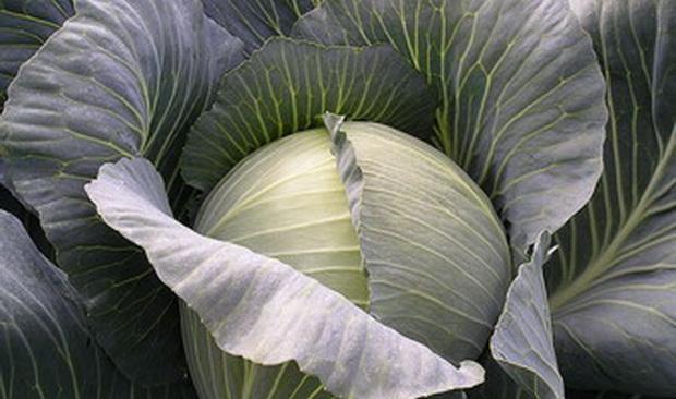 Сорт капусты белокочанной: Альфредо   f1