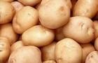 Сорт картофеля: Алиса