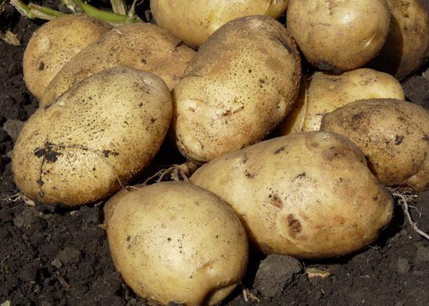 Сорт картофеля: Алмаз