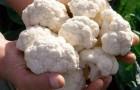 Сорт капусты цветной: Альтамира f1