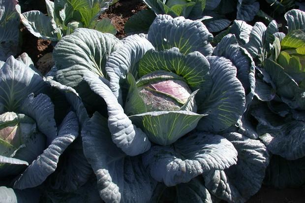 Сорт капусты белокочанной: Амагер 611