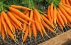 Сорт моркови: Амстердамска