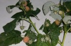 Сорт малины: Амурчанка