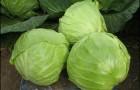 Сорт капусты белокочанной: Анадоль f1