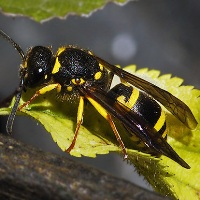 Ancistrocerus nigricomis