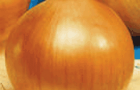 Сорт лука репчатого: Апогей