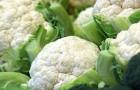 Сорт капусты цветной: Ариэль