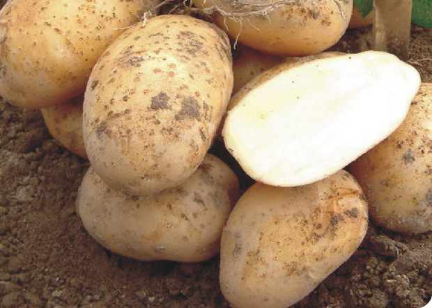 Сорт картофеля: Артемис