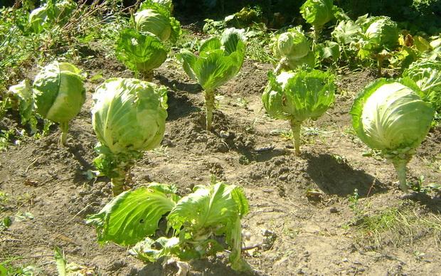 Сорт капусты белокочанной: Артемовка