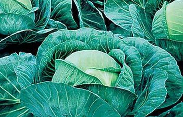 Сорт капусты белокочанной: Атрия   f1