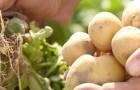 Сорт картофеля: Бафана