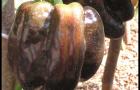 Сорт перца сладкого: Багира