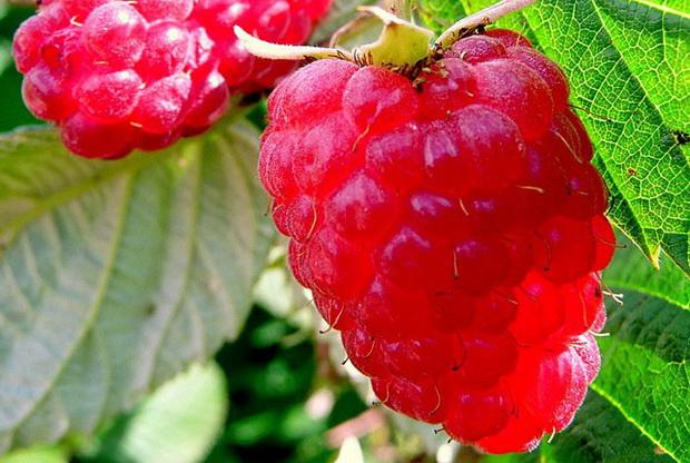 Сорт малины: Бальзам