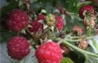 Сорт малины: Барнаульская