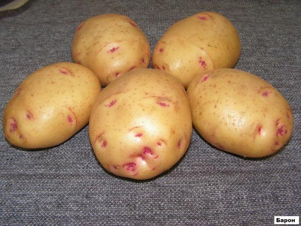 Сорт картофеля: Барон