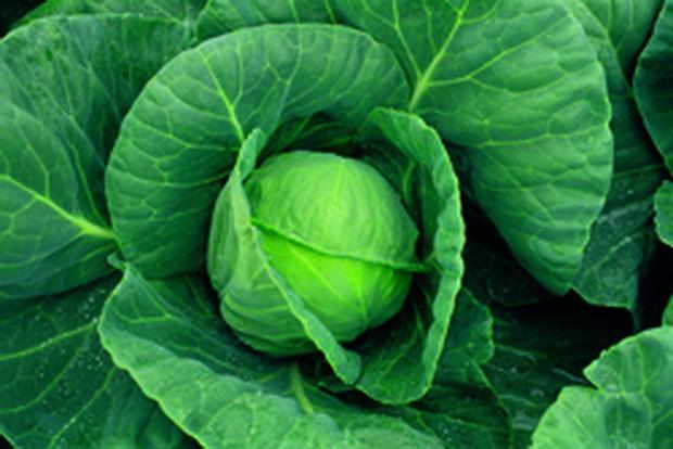 Сорт капусты белокочанной: Байонет   f1